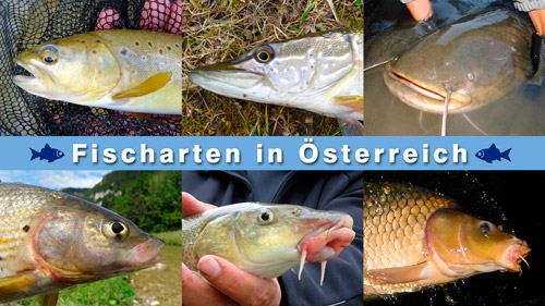 Fischarten in sterreich for Fische arten